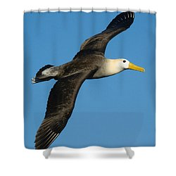 Waved Albatross Diomedea Irrorata Shower Curtain by Panoramic Images