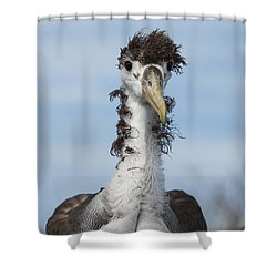 Waved Albatross Molting Juvenile Shower Curtain by Pete Oxford