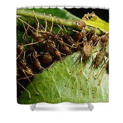 Weaver Ant Group Binding Leaves Shower Curtain by Mark Moffett