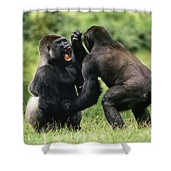 Western Lowland Gorilla Males Fighting Shower Curtain by Konrad Wothe