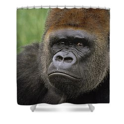 Western Lowland Gorilla Silverback Shower Curtain by Gerry Ellis