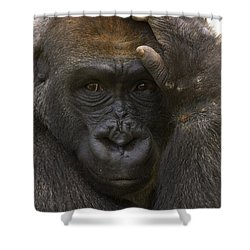 Western Lowland Gorilla With Hand Shower Curtain by San Diego Zoo