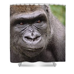 Western Lowland Gorilla Young Male Shower Curtain by Gerry Ellis