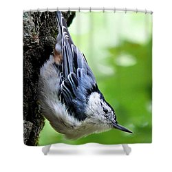 White-breasted Nuthatch Shower Curtain by Christina Rollo