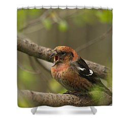 White-winged Crossbill Shower Curtain by James Peterson