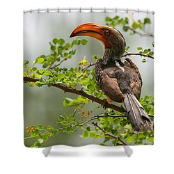 Yellow-billed Hornbill Shower Curtain by Bruce J Robinson