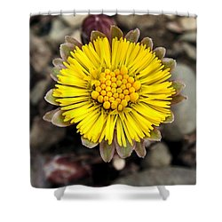 Yellow Coltsfoot Flower Shower Curtain by Christina Rollo