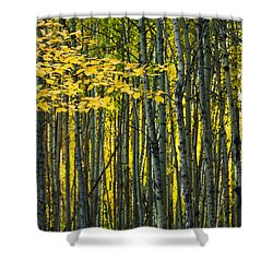 Yellow Fall Birch Leaves Against An Shower Curtain by Joel Koop