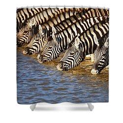 Zebras Drinking Shower Curtain by Johan Swanepoel