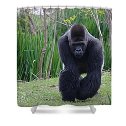 Zootography Of Male Silverback Western Lowland Gorilla On The Prowl Shower Curtain by Jeff at JSJ Photography