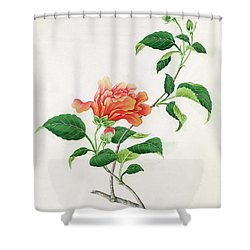 Hibiscus Shower Curtain by Georg Dionysius Ehret