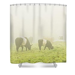 Belted Galloway Cows Grazing On Foggy Farm Field Maine Shower Curtain by Keith Webber Jr