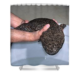 Chinese Giant Salamander Shower Curtain by Dante Fenolio