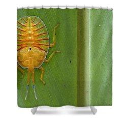 Tessaratomid Nymph Papua New Guinea Shower Curtain by Piotr Naskrecki