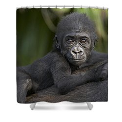 Western Lowland Gorilla Gorilla Gorilla Shower Curtain by San Diego Zoo