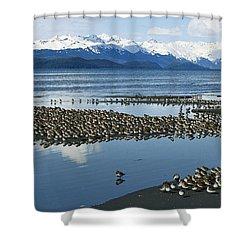 Western Sandpiper Calidris Mauri Flock Shower Curtain by Michael Quinton