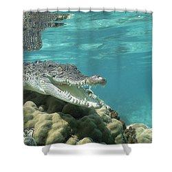 Saltwater Crocodile Crocodylus Porosus Shower Curtain by Mike Parry