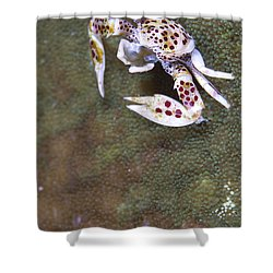 Spotted Porcelain Crab Feeding Shower Curtain by Steve Jones