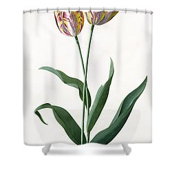 5 Tulip Tulip  Shower Curtain by Georg Dionysius Ehret