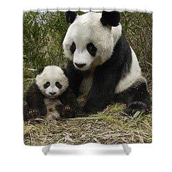 Giant Panda Ailuropoda Melanoleuca Shower Curtain by Katherine Feng
