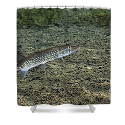 A Chain Pickerel Wimming The River Shower Curtain by Terry Moore