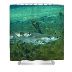 A School Of Striped Mullet Wim Shower Curtain by Michael Wood