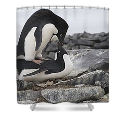 Adelie Penguins Mating  Antarctica Shower Curtain by Flip Nicklin