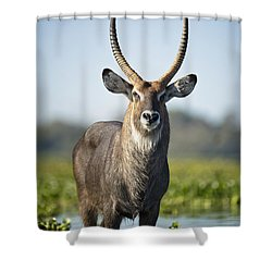 An Antelope Standing In Shallow Water Shower Curtain by David DuChemin
