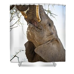An Elephant Eats The Leaves High Up In Shower Curtain by David DuChemin