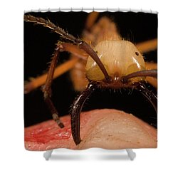 Army Ant Eciton Hamatum Major Worker Shower Curtain by Mark Moffett