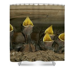 Barn Swallow Hirundo Rustica Chicks Shower Curtain by Cyril Ruoso