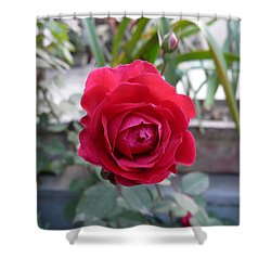 Beautiful Red Rose In A Small Garden Shower Curtain by Ashish Agarwal