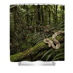 Boa Constrictor Boa Constrictor Coiled Shower Curtain by Pete Oxford