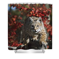 Bobcat Felis Rufus Walks Along Branch Shower Curtain by David Ponton
