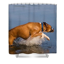 Boxer Playing In Water Shower Curtain by Stephanie McDowell