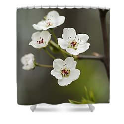 Bradford Callery Pear Tree Blossoms - Pyrus Calleryana Shower Curtain by Kathy Clark