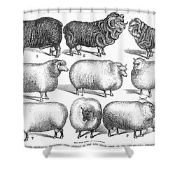 Breeds Of Sheep, 1876 Shower Curtain by Granger