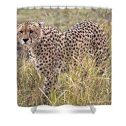 Cheetah Acinonyx Jubatus, Masai Mara Shower Curtain by Chris Upton