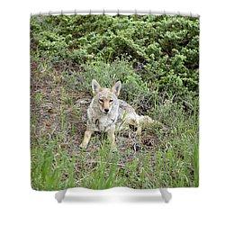 Colorado Coyote Shower Curtain by Jenna Szerlag