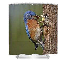 Eastern Bluebird Feeding Chick Shower Curtain by Susan Candelario