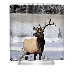 Elk Cervus Canadensis Bull Elk During Shower Curtain by Richard Wear