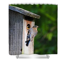 Female Eastern Bluebird IIi Shower Curtain by Jai Johnson
