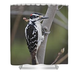 Hairy Woodpecker Picoides Villosus Shower Curtain by Amy Kay