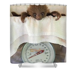Hoffmanns Two-toed Sloth Orphan Shower Curtain by Suzi Eszterhas