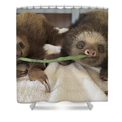 Hoffmanns Two-toed Sloth Orphans Eating Shower Curtain by Suzi Eszterhas