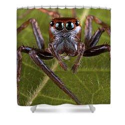 Jumping Spider Papua New Guinea Shower Curtain by Piotr Naskrecki