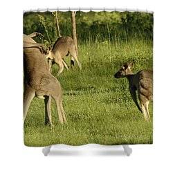 Kangaroo Ready To Box Shower Curtain by Bob Christopher