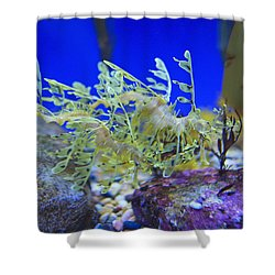 Leafy Seadragon Phycodurus Eques At The Shower Curtain by Stuart Westmorland