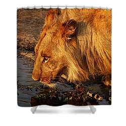 Lion's Pride Shower Curtain by Andrew Paranavitana