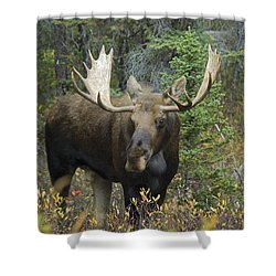 Moose Alces Alces In The Forest Alberta Shower Curtain by Philippe Widling